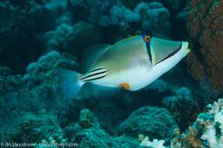 BD-120425-Marsa-Alam-6570-Rhinecanthus-assasi-(Forsskål.-1775)-[Picasso-triggerfish].jpg